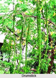 Drumstick_Tree_Indian_Tr